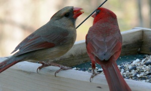 Female Cardinals are one of the few singing Lady Songbirds.